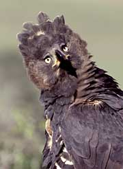 115 best images about EAGLES / EAGLE FEATHERS / OTHER ...  |African Crowned Eagle Falconry